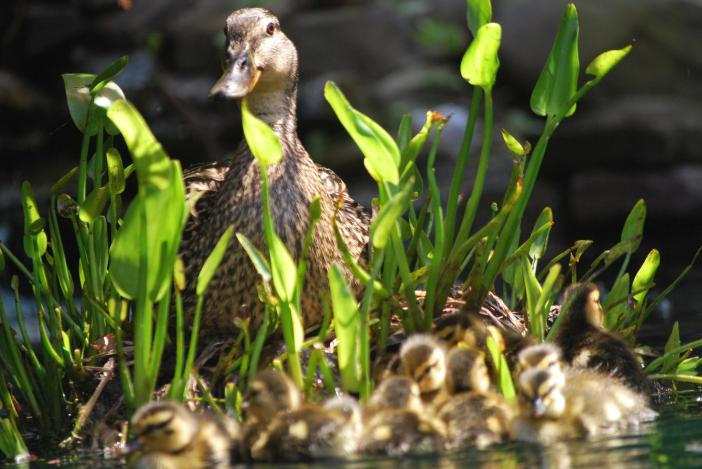 Mama climbed up to the only water plant we had in the pond at that time, a large pickerel. She liked resting there and called for her ducklings to stay close