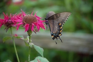 Beebalm (Monarda) can be for butterflies too!