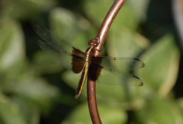 A dragon fly blends into a copper hook used to keep a pond net taught over our ond.
