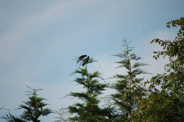 Two birds greet each other atop this Leyland Cypress