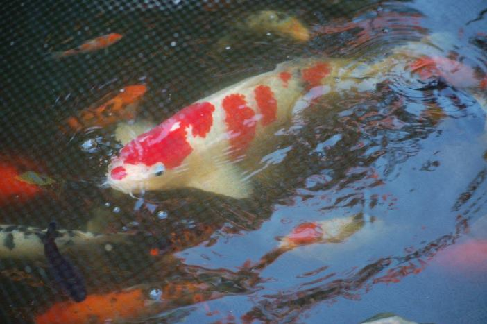 koi in Delaware pond